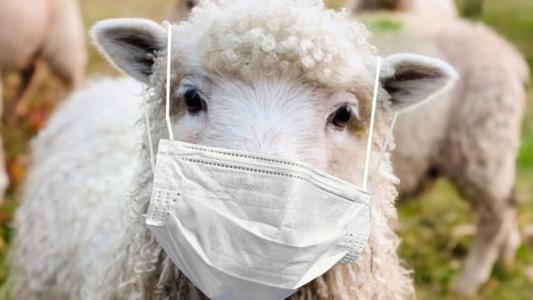 The Vaccinated Sheep Are Being Taken For A Ride
